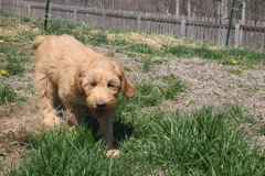 Picture of Sapphire, an Australian Labradoodle