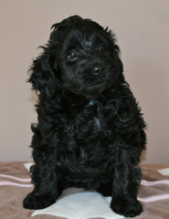 Picture of Birdie, an Australian Labradoodle