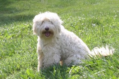 Picture of Chance, an Australian Labradoodle