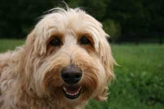 Picture of Silk, an Australian Labradoodle