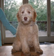Picture of an Australian Labradoodle