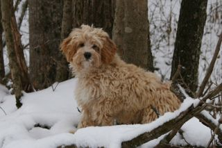 Picture of Moondoggie, an Australian Labradoodle