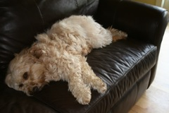 Picture of Flame, an Australian Labradoodle, resting on a couch