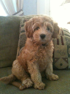 Picture of Roxie, an Australian Labradoodle