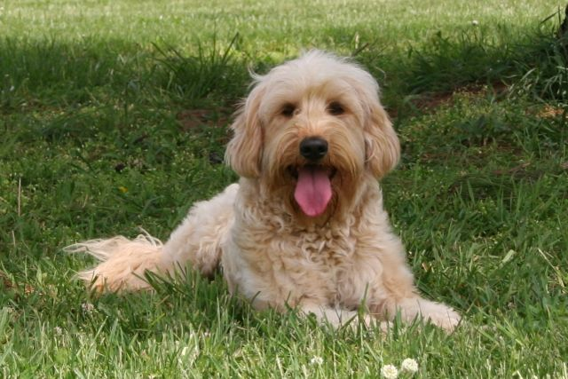 Picture of Cappy, an Australian Labradoodle