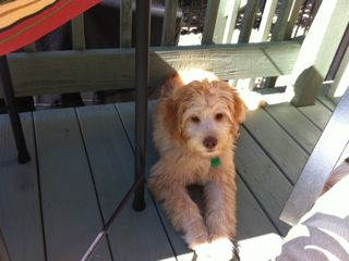 Picture of Savannah, an Australian Labradoodle