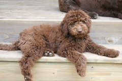 Picture of Scottie, an Australian Labradoodle