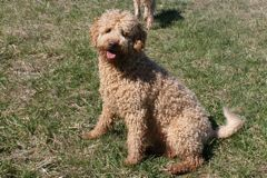 Picture of Sparkle, an Australian Labradoodle