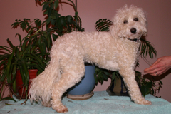 Photo of Mattie, an Australian Labradoodle