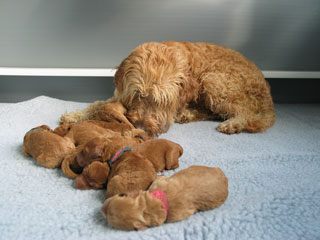 Picture of Australian Labradoodle