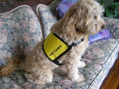 Picture of Derby, a Certified Therapy Australian Labradoodle