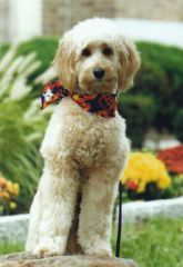 Picture of Gus, an Australian Labradoodle Therapy Dog