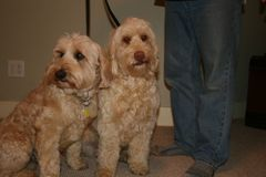 Picture of Cole and Layla, Australian Labradoodles