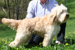 Picture of Cole, an Australian Labradoodle