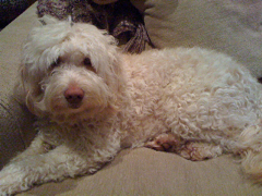 Picture of Mattie, an Australian Labradoodle