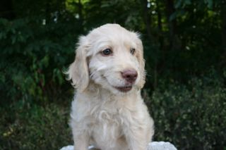 Picture of Teal Ribbon Girl, an Australian Labradoodle