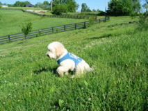 Picture of Silk, our certified therapy Australian Labradoodle