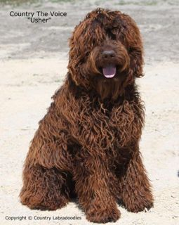 Picture of Usher, an Australian Labradoodle